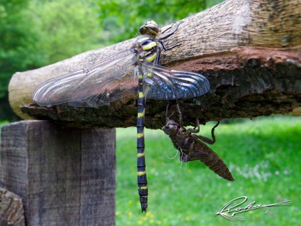 Adult Dragon fly.jpg
