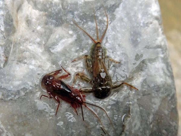 Ecdyonurus Both nymphes.jpg