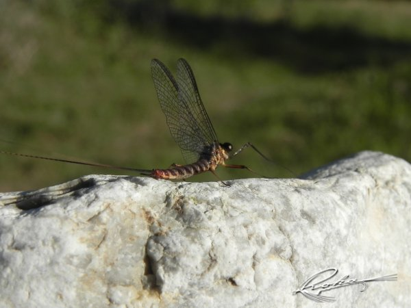 Ecdyonurus Imago 2.jpg