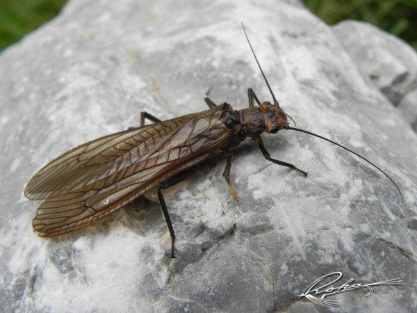 Perlodes microcephala.jpg