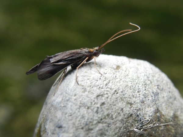 Wormaldia  perhapsPhilopotamidae.jpg